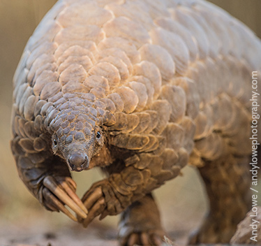Help us scale back pangolin trafficking
